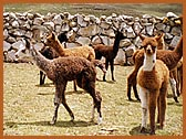 The young alpacas are so cute!
