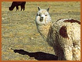 The alpaca cuts plants with its teeth instead of uprooting them. This allows a renewal of the vegetation in the tundra.