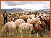 Alpacas farming on the Altiplano at a 4,700 meters altitude.