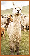 The alpacas hair has unequalled thermal and insulating properties!